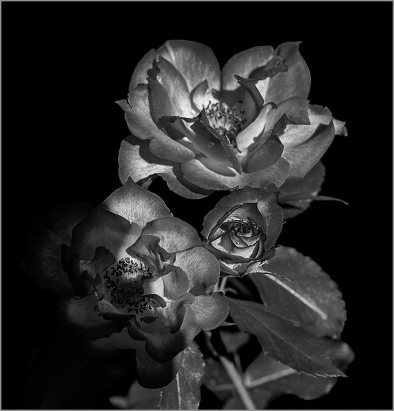 Monochrome Beginner Open_Roses # 2_Elina Veyberman_2nd